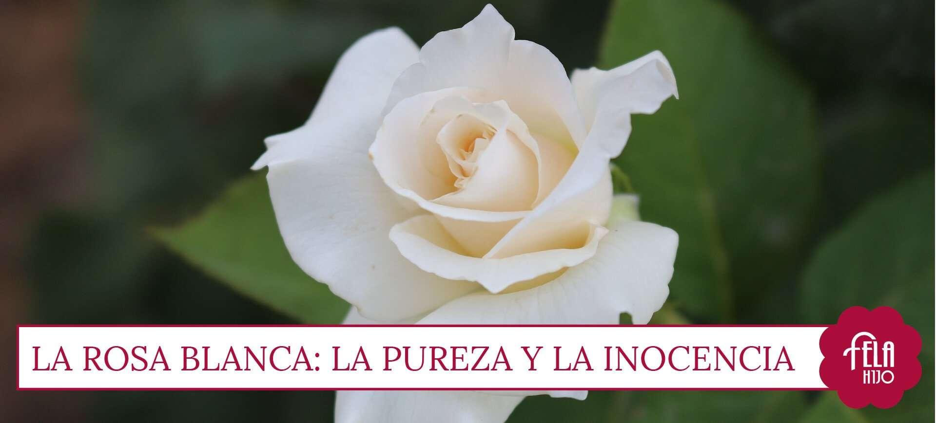 El significado de regalar rosas por san valent n flores fela - Significado rosas blancas ...
