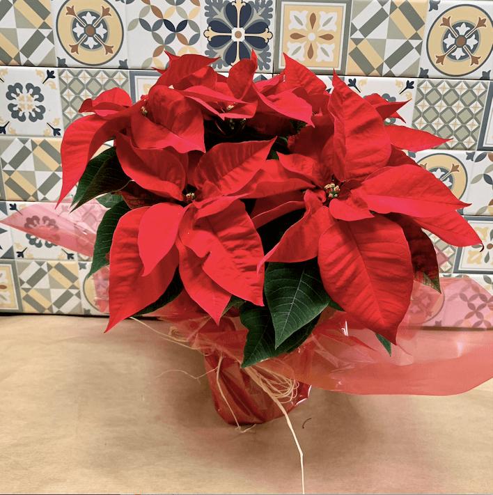 Planta Poinsettia