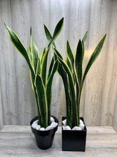 Plantas cactus flores fela