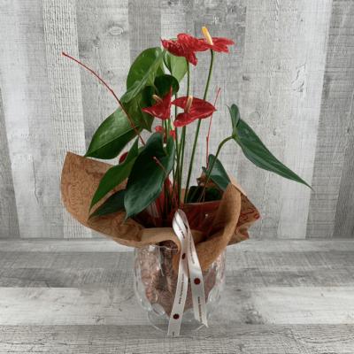 Planta Anthurium natural fela hijo