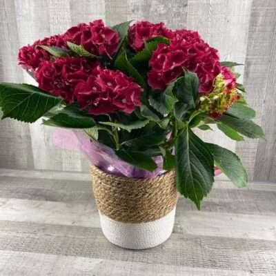 Planta de hortensia grande rosa fela hijo